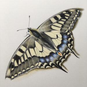نقاشی حیوانات با مداد رنگی، پروانه؛ هنرمند Paul Miller
