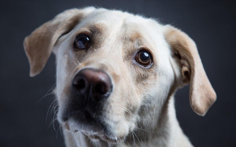 چشم سگ