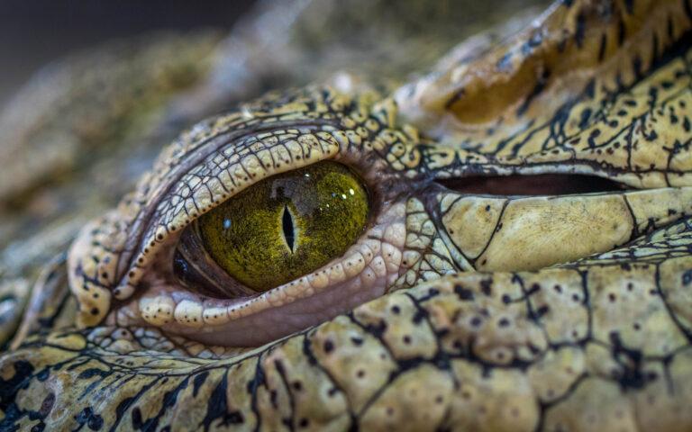 چشم تمساح