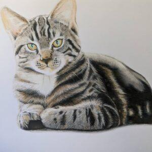 نقاشی صورت، دستها و شکم گربه با استفاده از مداد رنگی